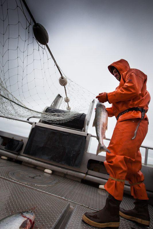 How Sockeye Salmon are harvested in Alaska